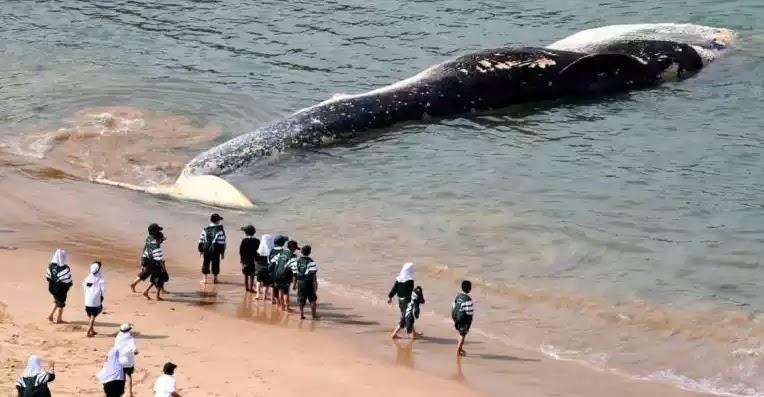 Τεράστια φάλαινα ξεβράστηκε στην Αυστραλία – Μαζεύτηκαν καρχαρίες!