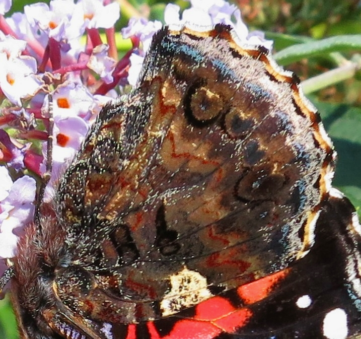 Closed wing of Red Admiral - brown with hearts and orange wavy line