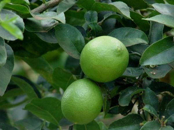 Jeruk Nipis sebagai obat alami memang luar biasa keuntungannya untuk menjaga kesehatan dan ke 34 Manfaat Jeruk Nipis Sebagai Obat Tradisional