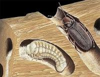 Tahta kurdu larvası ve yetişkin böceği