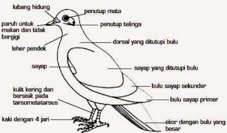 Pengertian, Ciri-Ciri, Klasifikasi dan Peranan Aves (Burung)