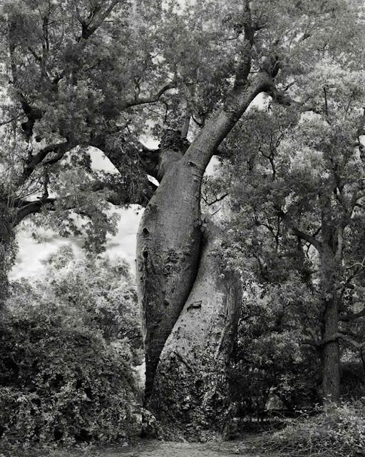 صور أقدم الأشجار في العالم