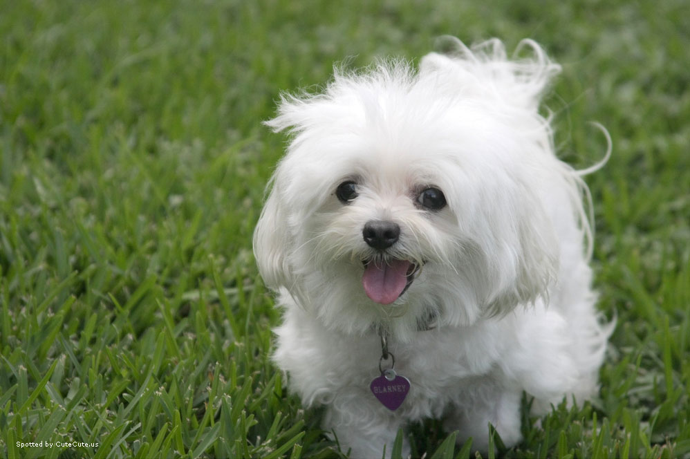 Latest Wallpapers Cute White Puppies