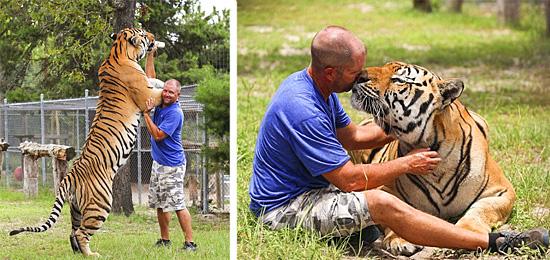 Tigre gigante em cativeiro