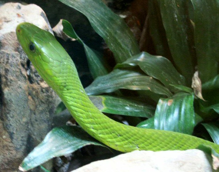 Snake Eyes Hd Wallpapers Snakes Green Mamba