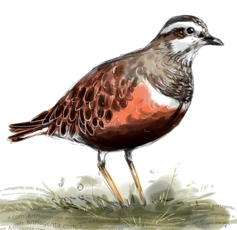 Dotterel sketch painting. Bird art drawing by illustrator Artmagenta