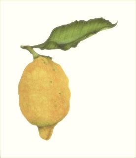Lemon,watercolor art,Billy Showell