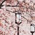 Semanário: Flor de Cerejeira na Primavera