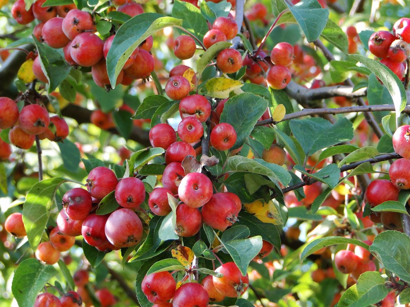 Apple tree wallpaper free download