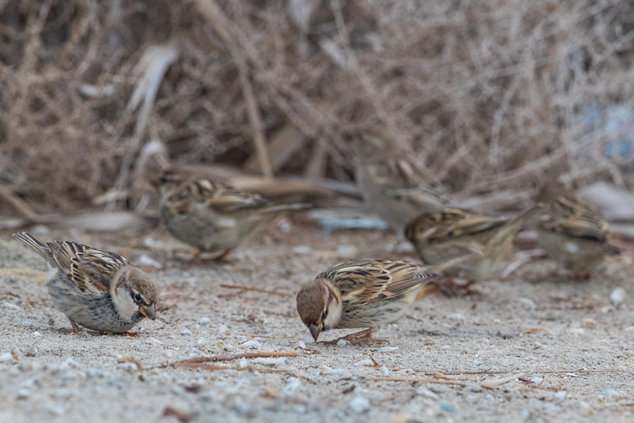 Spanish Sparrows