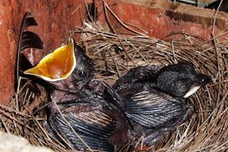 Penangkaran Burung Kacer - Perawatan Anakan Kacer