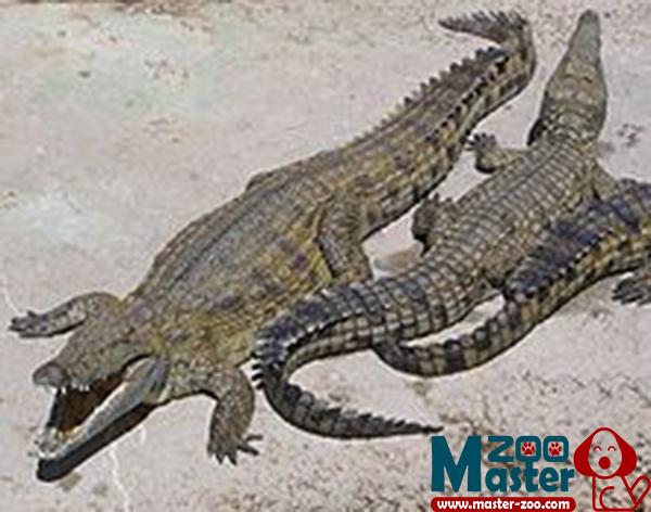 التمساح وأنواعة وماهو غذائة Crocodile