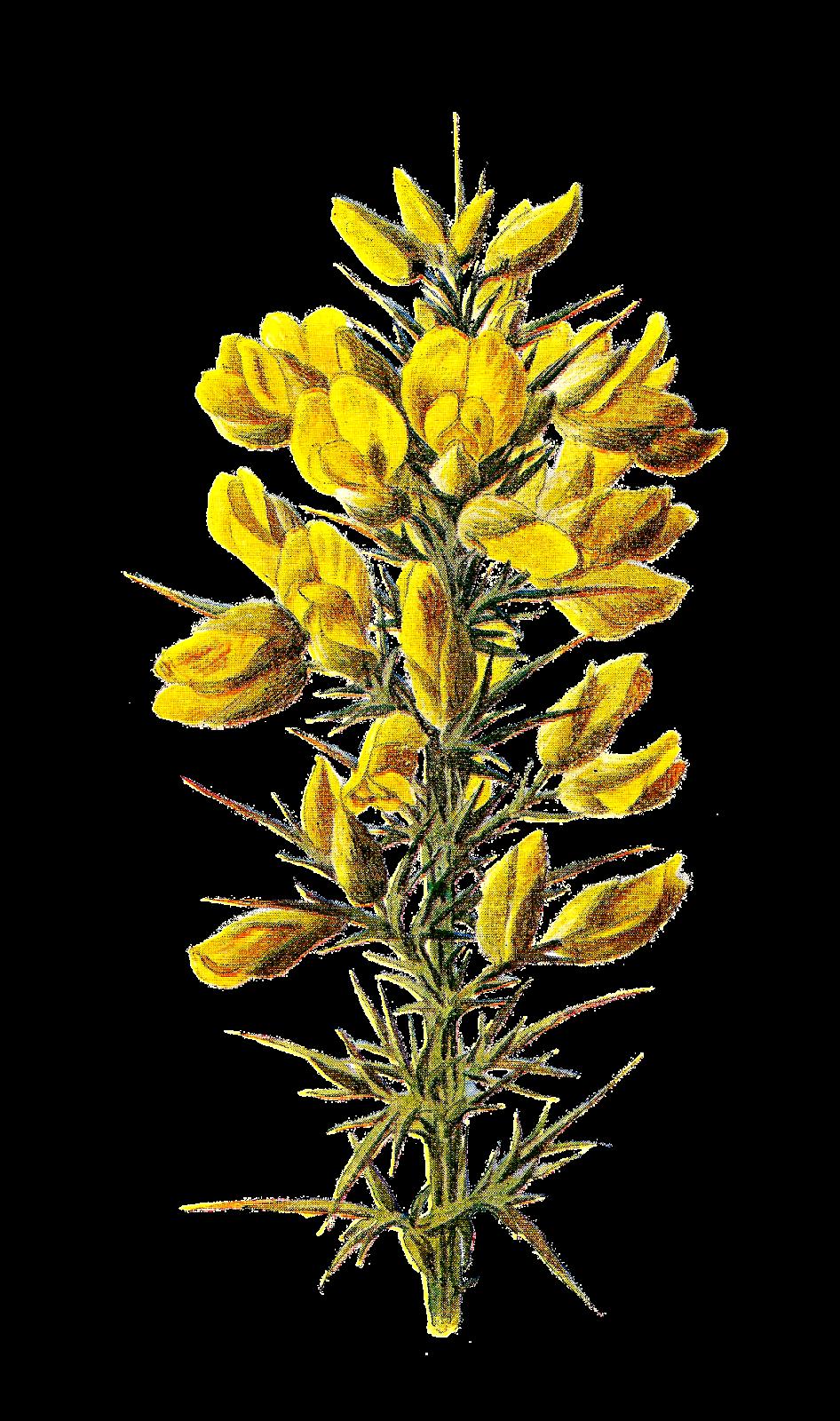 Antique Images: Wildflower Stock Illustration Digital ...