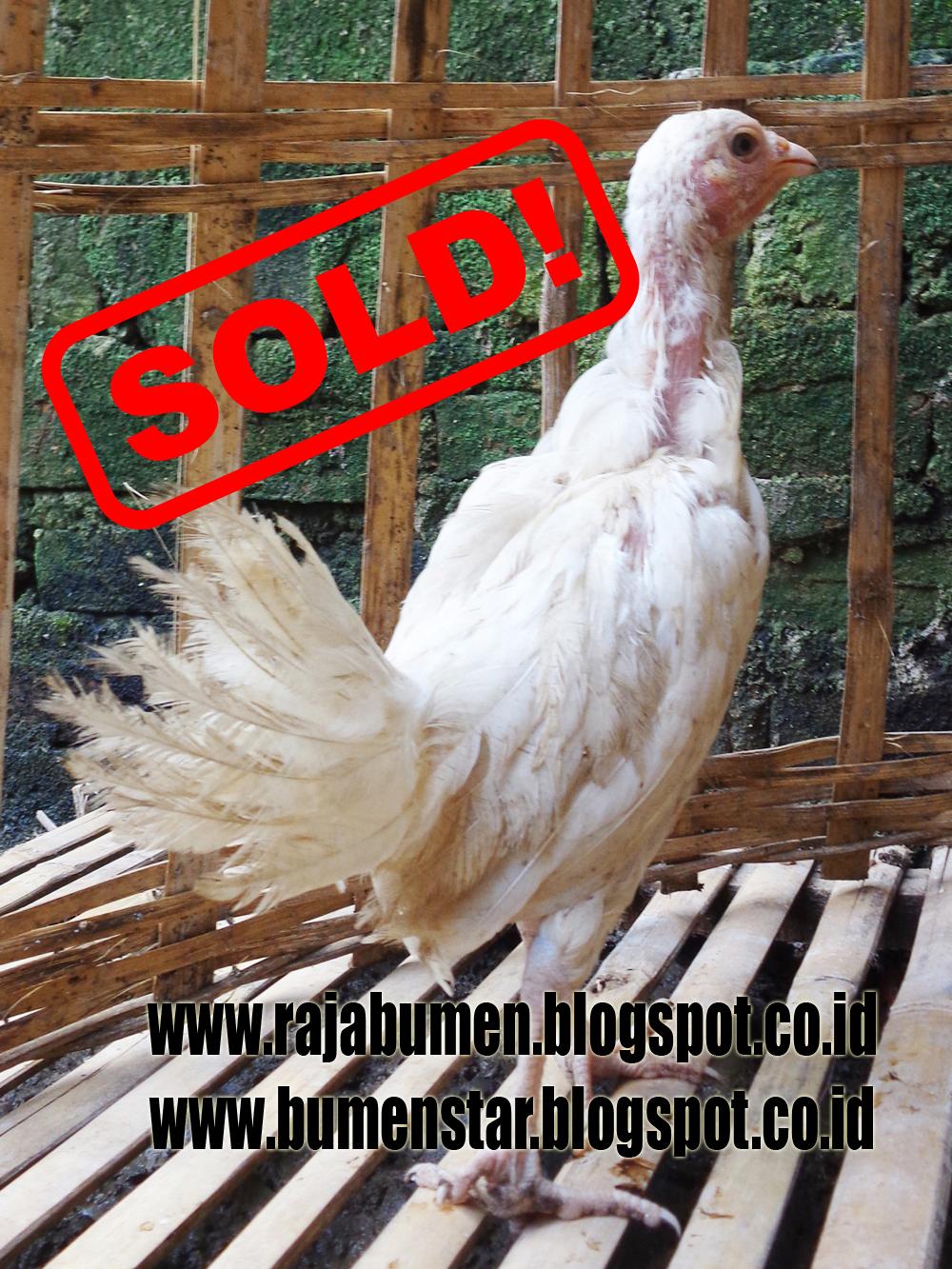 73+ Gambar Ayam Filipina Segel Terbaik