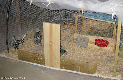 These Silver Spangled Hamburg pullets were kept in my basement in January, far away from the main flock, for 6 weeks before they took up residence in our new coop.