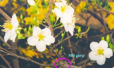 Hoa mai trắng