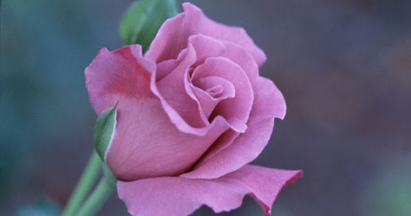 Purple Rose Flowers - Flower HD Wallpapers, Images ...