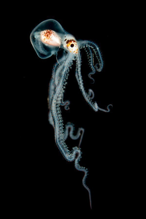 The Best Underwater Photos EVER Taken Show Life From A Different Angle. - 'Pelagic Octopus at Night' by Helen Brierley (US)