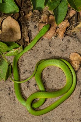 Southeastern green Snake