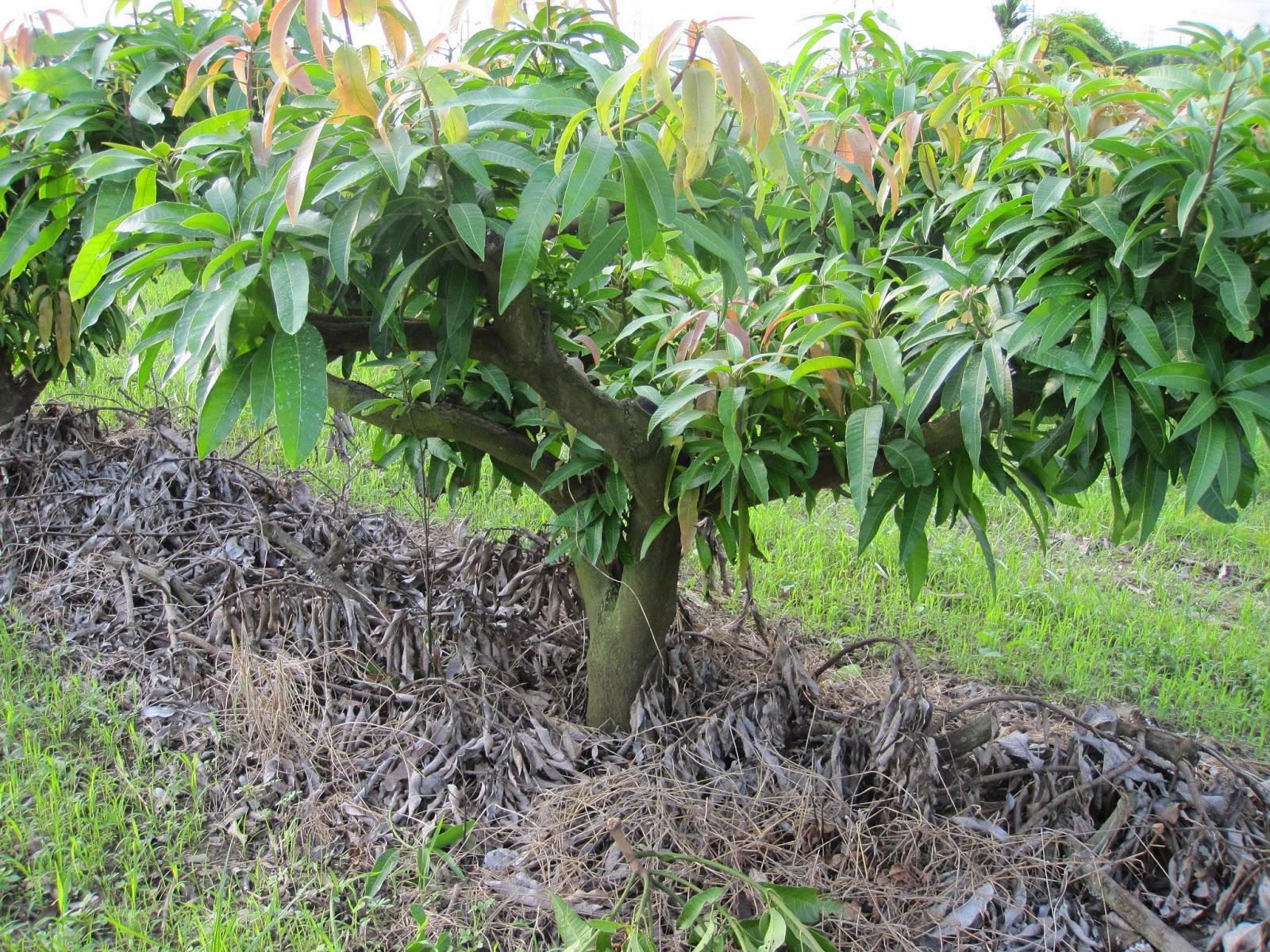 estudiando agricultura en taiw n rboles de mango en