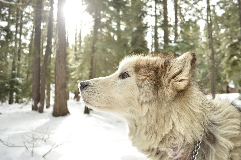 wolf-dog-my-list-mag