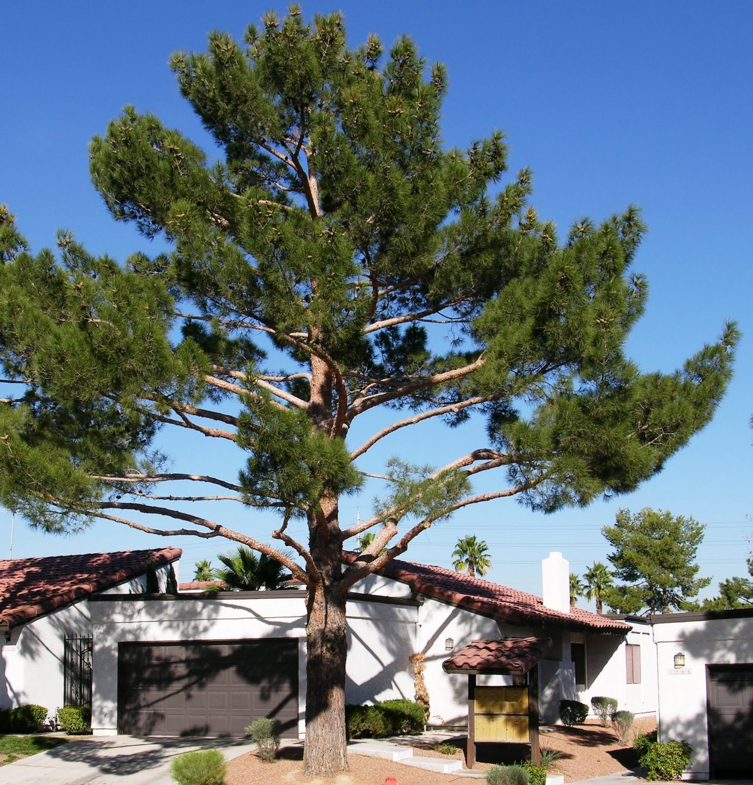 Xtremehorticulture Of The Desert Problem With Pruning Pine Trees So They Don T Over