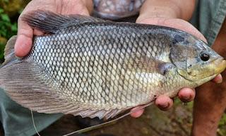 cara budidaya ikan gurame di kolam tembok