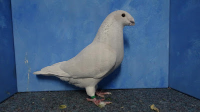 american pigeons - racer pigeons