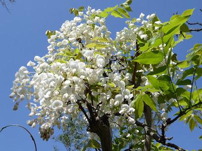 王仁公園の藤 白い花