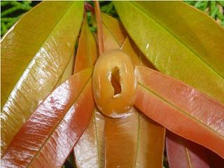 Mustika Combong Pelet Vagina