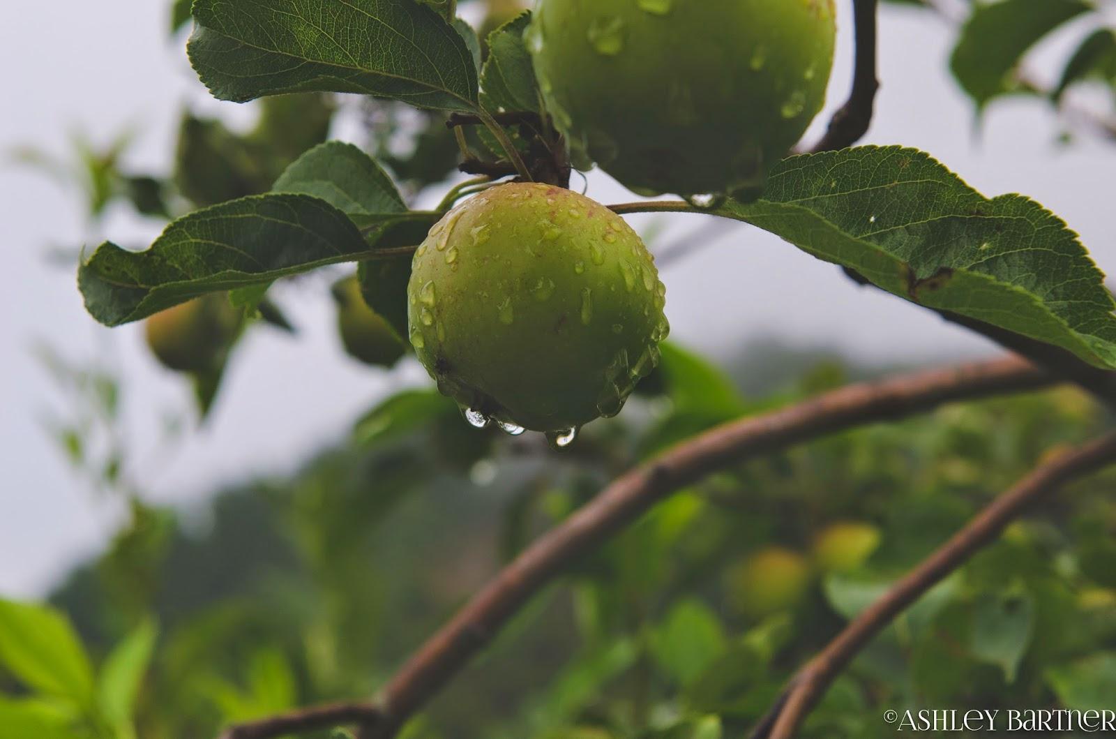 La Tavola Marche: Happy Apple Season! Recipes & Photos from our Apple Harvest