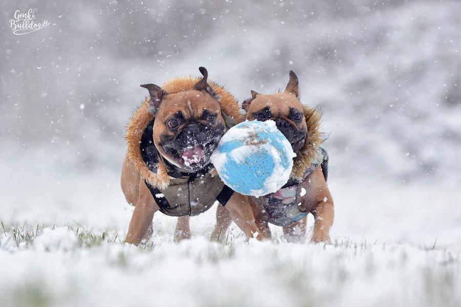 Französische Bulldogge im Schnee Hundeblog Hundefotografie