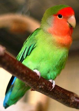 Peach-paced Lovebird
