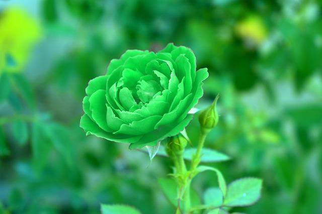 bong hoa hong xanh la dep nhat
