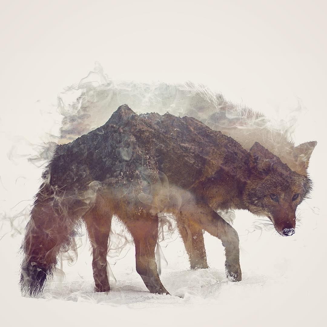 09-Coywolf-Daniel-Taylor-Ghostly-Animals-in-Manipulated-Photographs-www-designstack-co