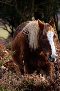 Periculum est emptoris et l'achat d'un cheval