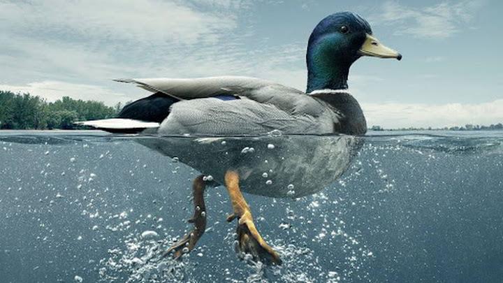 Resultado de imagen para patos