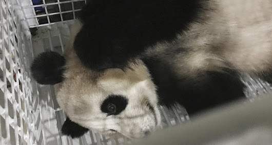 Pandas born in Japan return to China under deal to encourage breeding.