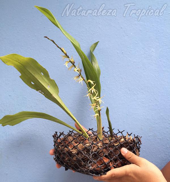 Orquídea Estrellita (Eria javanica) en maceta