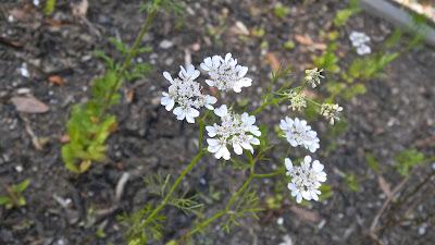 Cilantro aka coriander blossoms