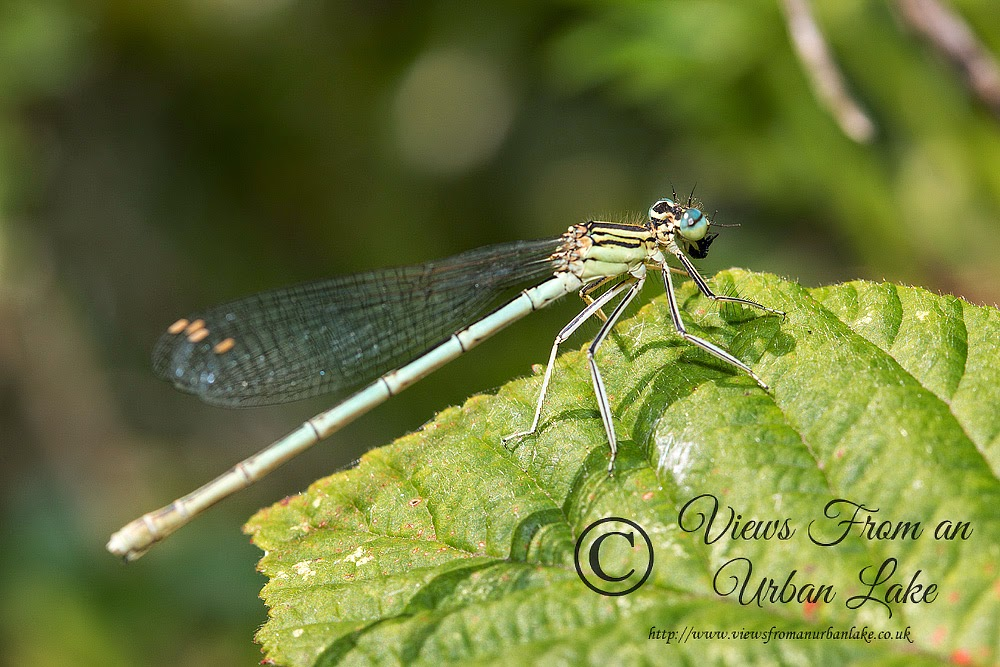 White-Legged Damselfly female (Platycnemis pennipes) - Teardrop Lakes, Milton Keynes (2014)