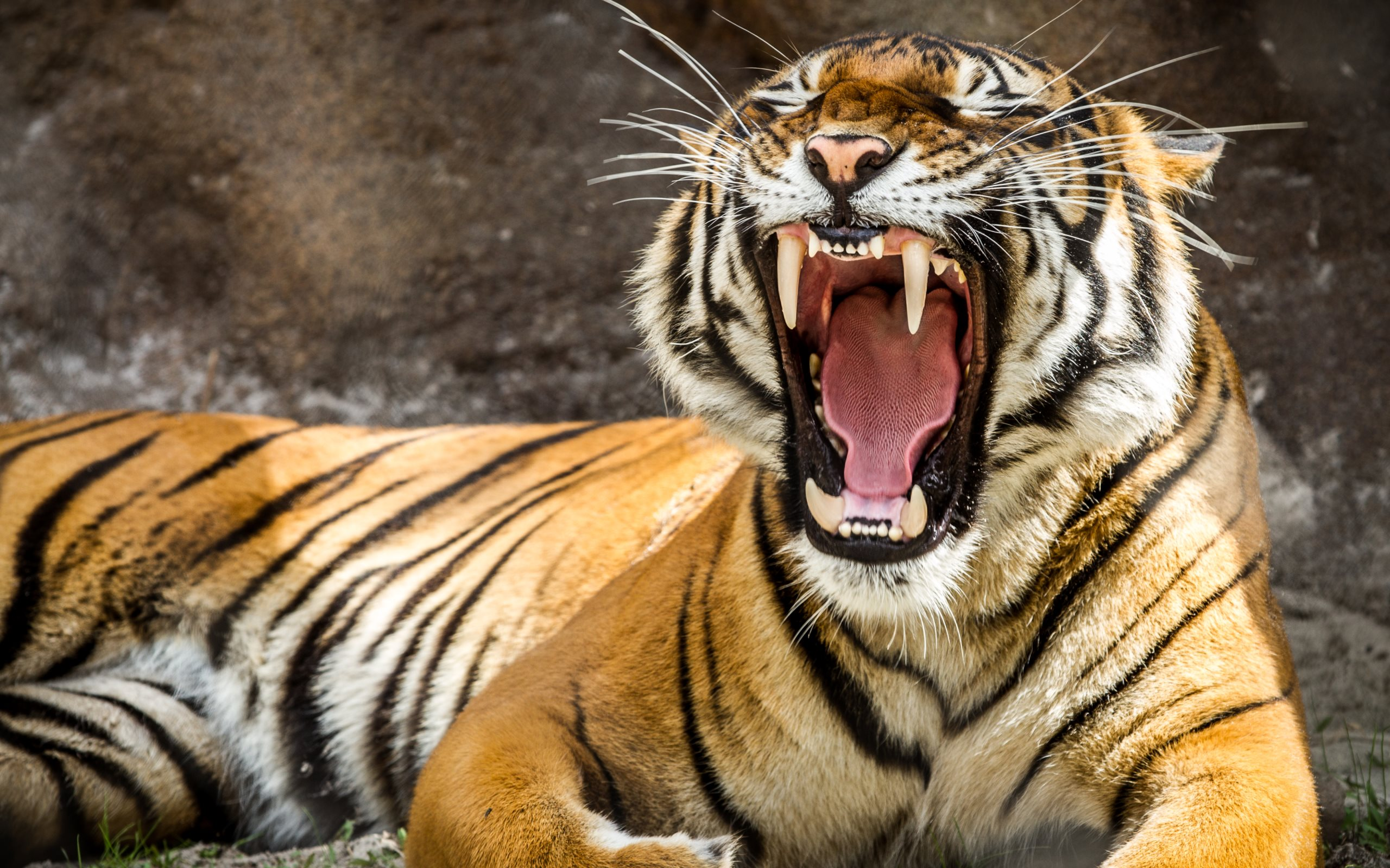 ultra high definition wallpapers tigers - photo #2
