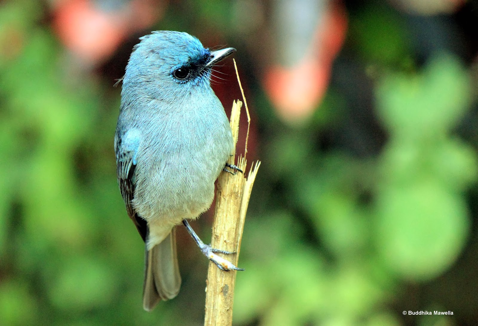 lanka nature summary sri lanka dull blue flycatcher eumyias sordida