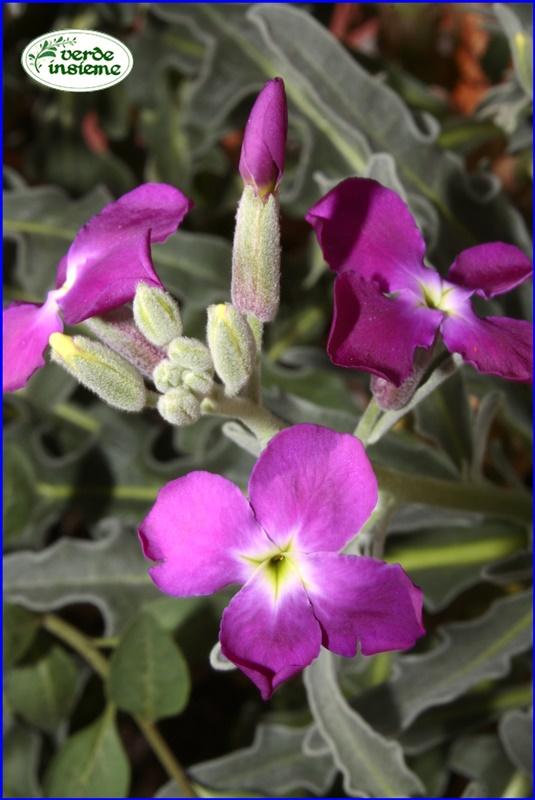 Fiori 4 Petali.Violacciocca Il Fiore Di San Giuseppe