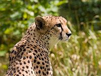 Cheetah, Hewan Darat Tercepat di Dunia