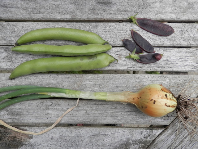 My suburban garden harvest, August 2016. secondhandsusie.blogspot.com #harvest #garden #growyourown #veggarden #gardenblogger