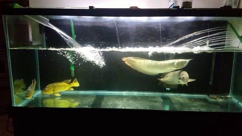 Gambar Mengganti Air Akuarium Ikan Arwana - Cara Mengatasi Ikan Arwana Yang Mogok Makan