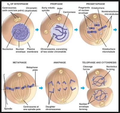 mitosis, pengertian mitosis, ciri ciri mitosis, tahap pembelahan mitosis