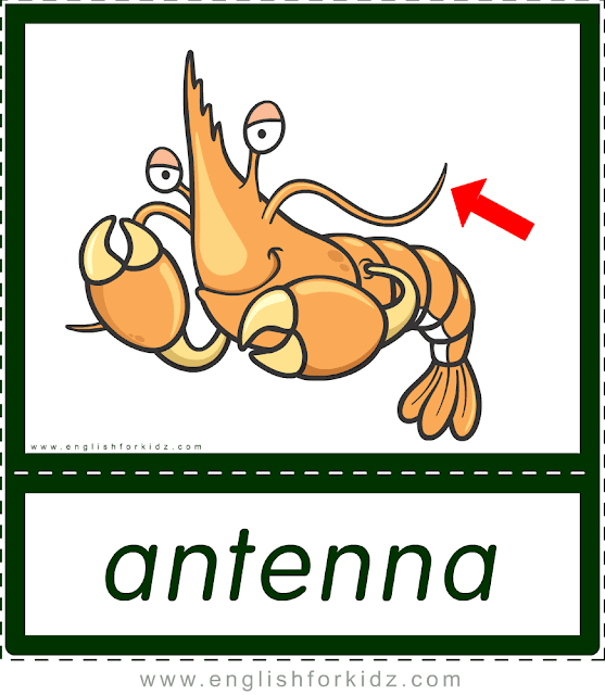 Antenna (shrimp) - printable animal body parts flashcards for English learners