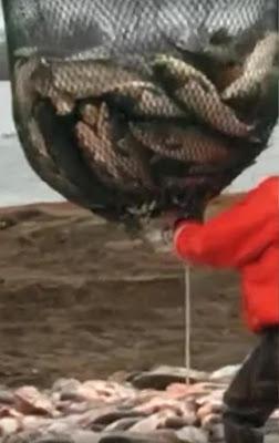 Momento de la extracción de las carpas mediante redes
